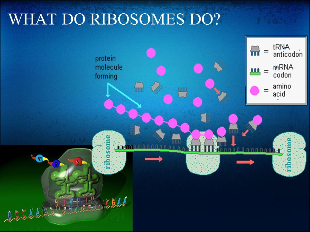 WHAT DO RIBOSOMES DO?