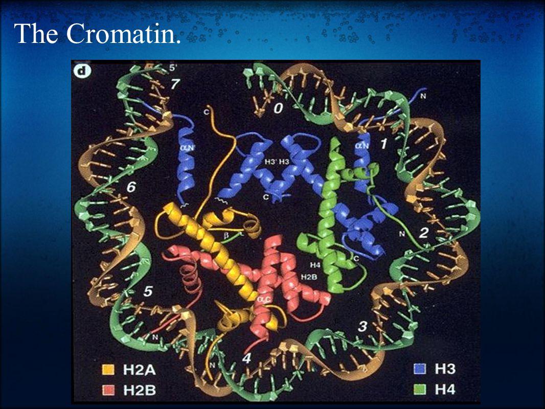 The Cromatin.