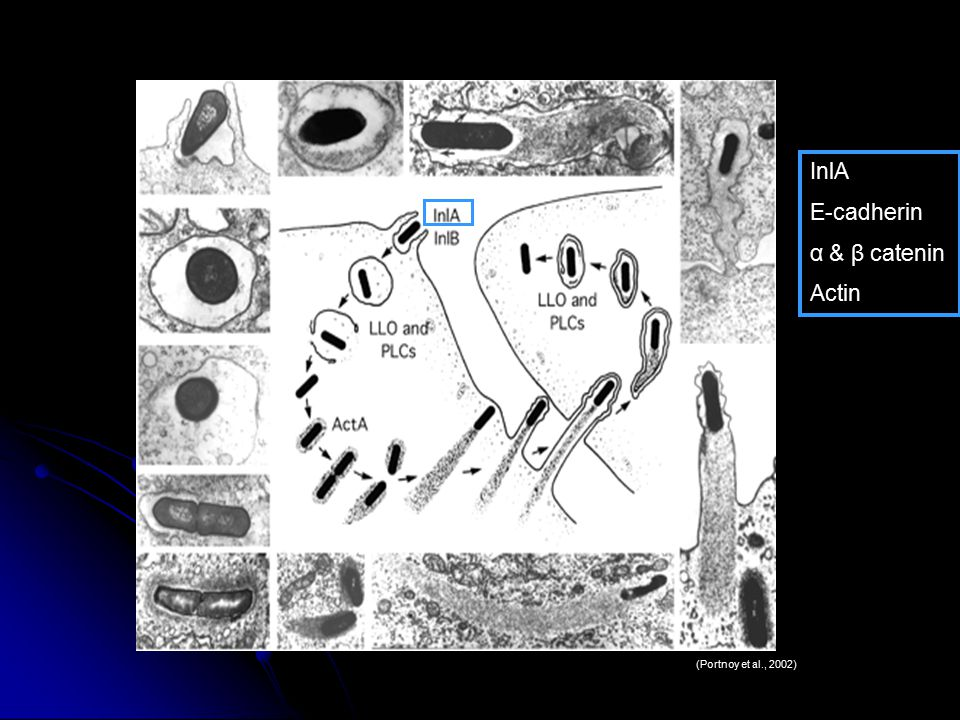 Internalin (InlA) is involved in LM entry Yes, LM entry depends on Internalin (InlA) Lecuit et al., 1997 Entry InlA Clip Art