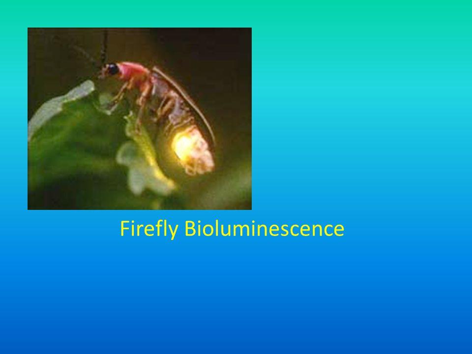 Firefly Bioluminescence