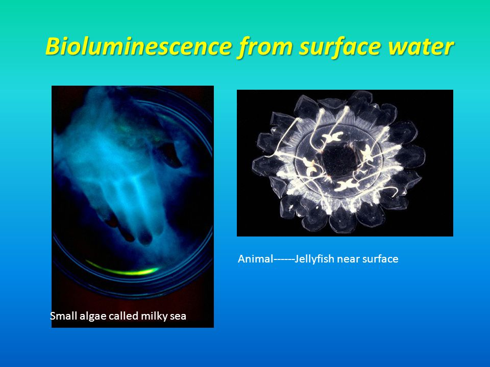 Bioluminescence from surface water Small algae called milky sea Animal------Jellyfish near surface