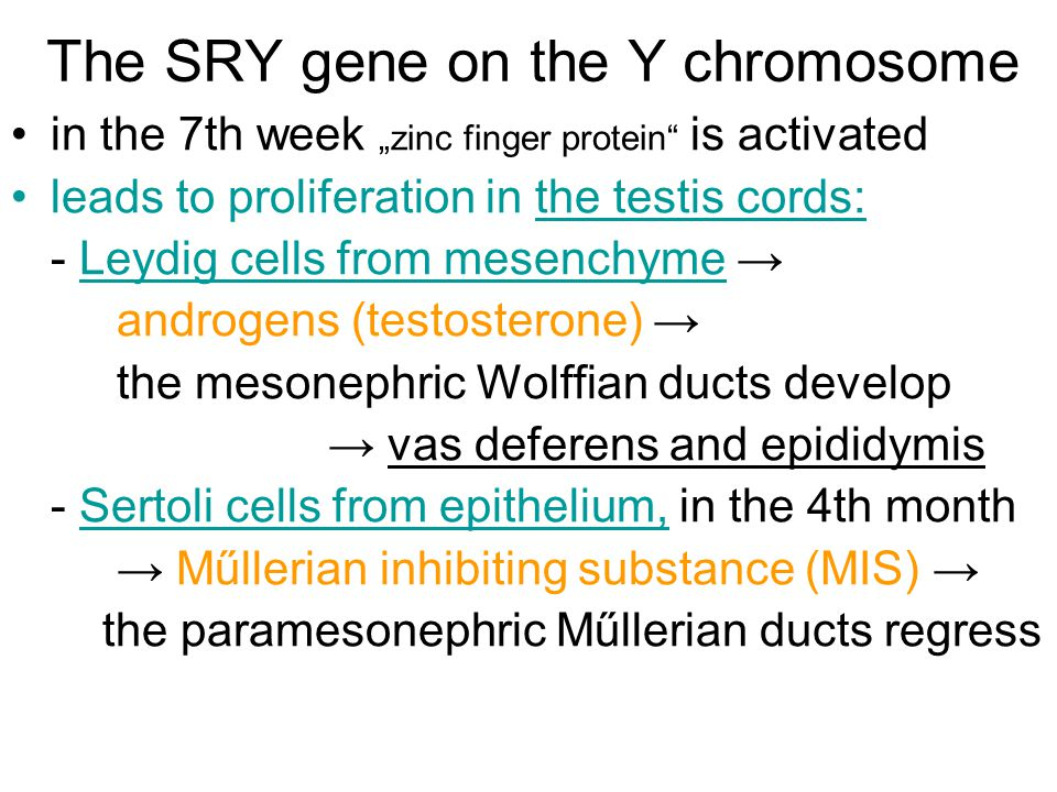 "The SRY gene on the Y chromosome in the 7th week ""zinc finger protein"" is activated leads to proliferation in the testis cords: - Leydig cells from me"
