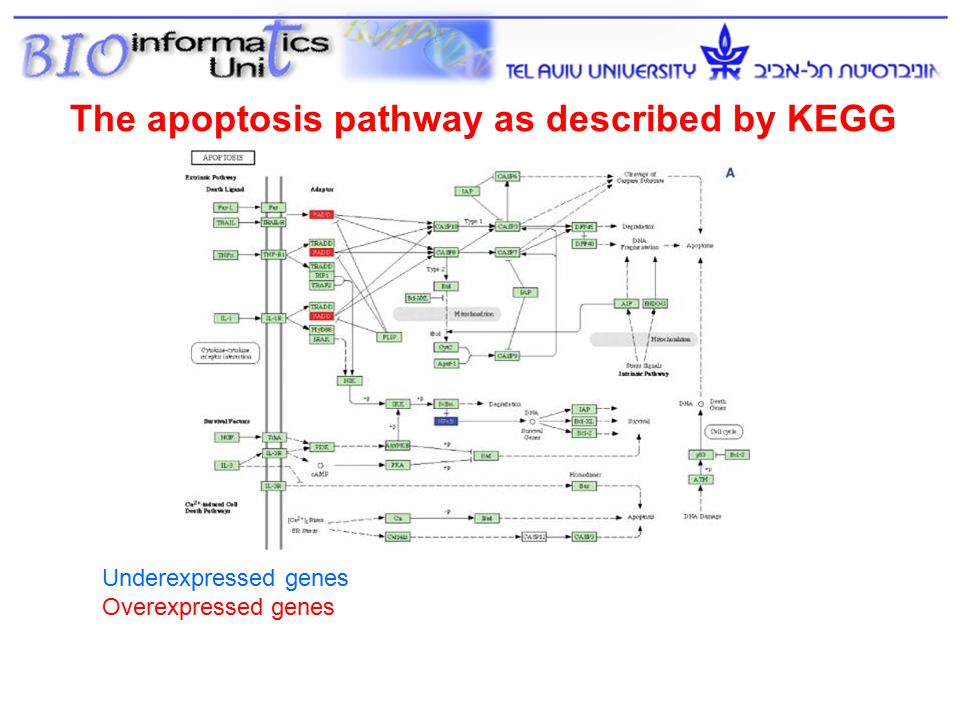 The apoptosis pathway as described by KEGG Underexpressed genes Overexpressed genes 37