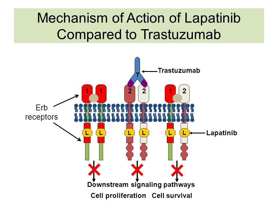 12 Downstream signaling pathways Cell proliferation Cell survival 211 2 Trastuzumab T Lapatinib LLLLLL Erb receptors Mechanism of Action of Lapatinib