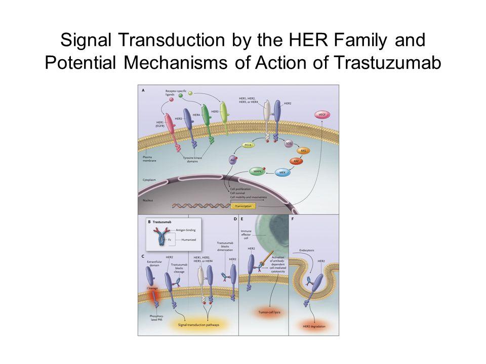 Highly potent cytotoxic agent Cytotoxic agent: emtansine (DM1) Monoclonal antibody: trastuzumab Target expression: HER2 Systemically stable Linker: SMCC T-DM1 Average drug:antibody ratio ≅ 3.5:1 Trastuzumab/Emtansine: Novel Antibody– Drug Conjugate Trastuzumab MCC DM1