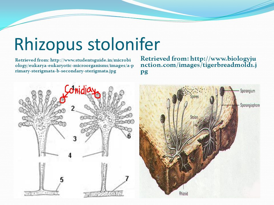 Rhizopus stolonifer Retrieved from: http://www.studentsguide.in/microbi ology/eukarya-eukaryotic-microorganisms/images/a-p rimary-sterigmata-b-secondary-sterigmata.jpg Retrieved from: http://www.biologyju nction.com/images/tigerbreadmold1.j pg
