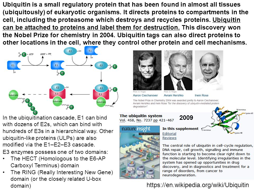 Ubiquitin is a small regulatory protein that has been found in almost all tissues (ubiquitously) of eukaryotic organisms. It directs proteins to compa