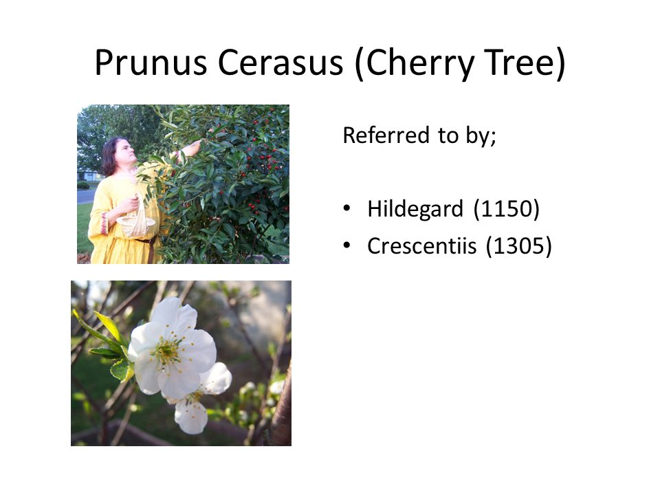Prunus Cerasus (Cherry Tree) Referred to by; Hildegard (1150) Crescentiis (1305)