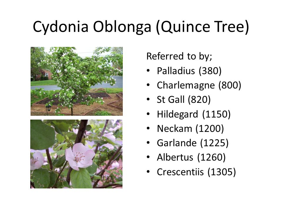 Cydonia Oblonga (Quince Tree) Referred to by; Palladius (380) Charlemagne (800) St Gall (820) Hildegard (1150) Neckam (1200) Garlande (1225) Albertus (1260) Crescentiis (1305)