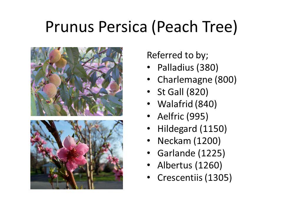 Malus Domestica (Apple Tree) Referred to by; Palladius (380) Charlemagne (800) St Gall (820) Walafrid (840) Aelfric (995) Hildegard (1150) Neckam (1200) Garlande (1225) Bartholomew (1240) Albertus (1260) Crescentiis (1305)