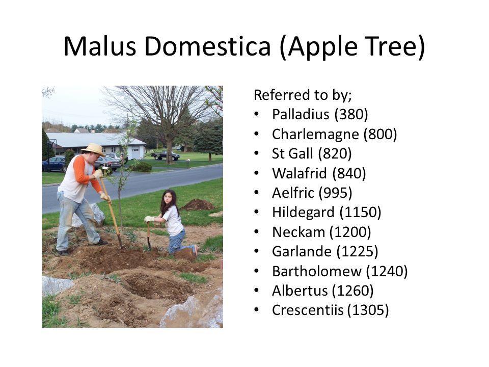 Malus Domestica (Apple Tree) Referred to by; Palladius (380) Charlemagne (800) St Gall (820) Walafrid (840) Aelfric (995) Hildegard (1150) Neckam (120