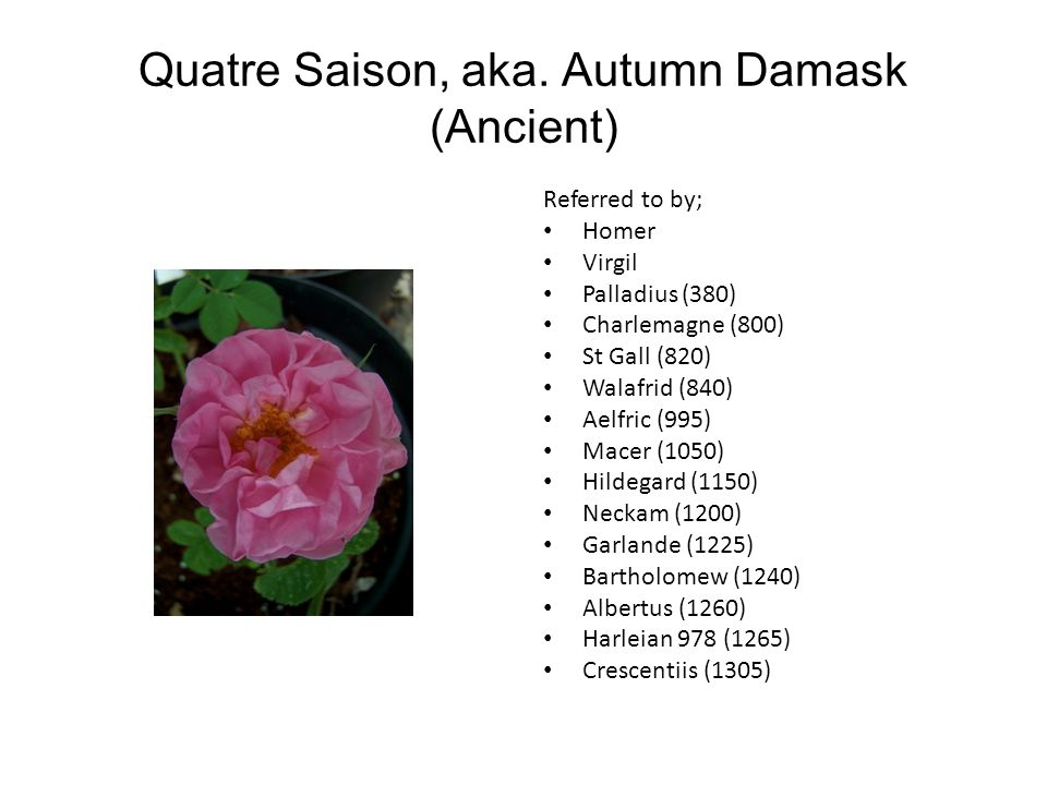 Quatre Saison, aka. Autumn Damask (Ancient) Referred to by; Homer Virgil Palladius (380) Charlemagne (800) St Gall (820) Walafrid (840) Aelfric (995)