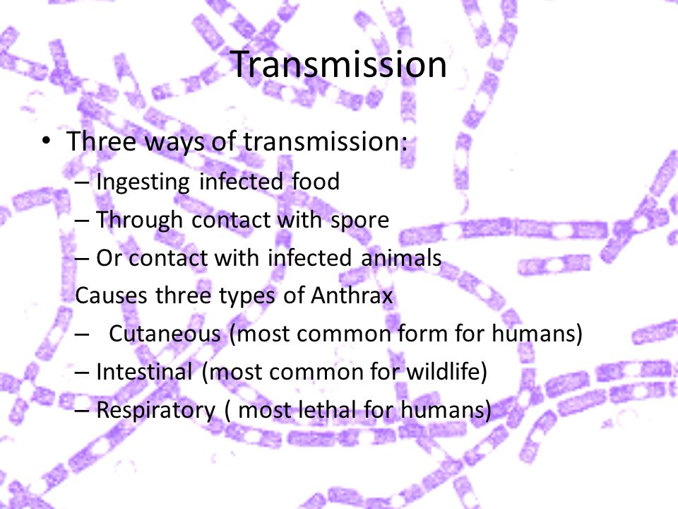 Transmission Three ways of transmission: – Ingesting infected food – Through contact with spore – Or contact with infected animals Causes three types of Anthrax – Cutaneous (most common form for humans) – Intestinal (most common for wildlife) – Respiratory ( most lethal for humans)