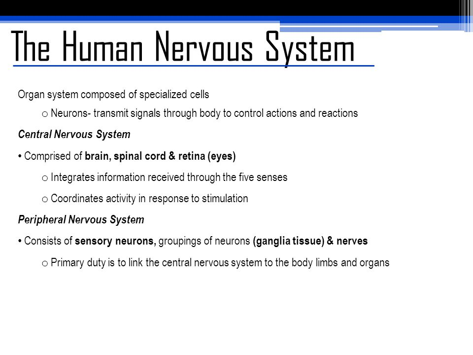 The Human Nervous System Organ system composed of specialized cells o Neurons- transmit signals through body to control actions and reactions Central Nervous System Comprised of brain, spinal cord & retina (eyes) o Integrates information received through the five senses o Coordinates activity in response to stimulation Peripheral Nervous System Consists of sensory neurons, groupings of neurons (ganglia tissue) & nerves o Primary duty is to link the central nervous system to the body limbs and organs
