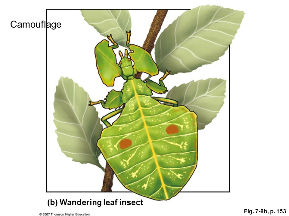 Fig. 7-8b, p. 153 (b) Wandering leaf insect Camouflage