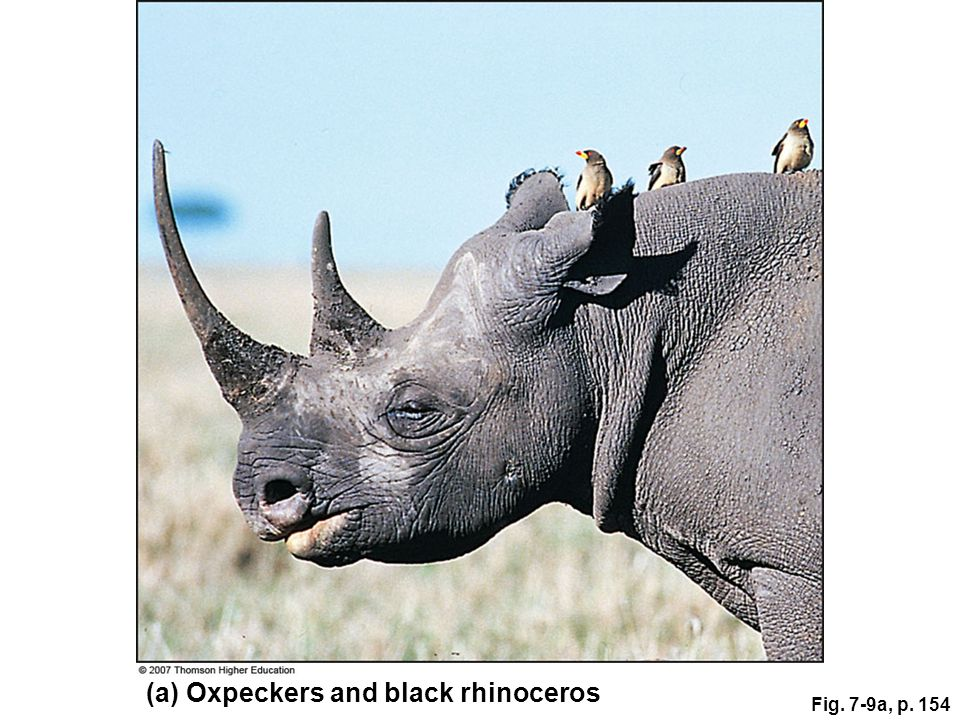 Fig. 7-9a, p. 154 (a) Oxpeckers and black rhinoceros