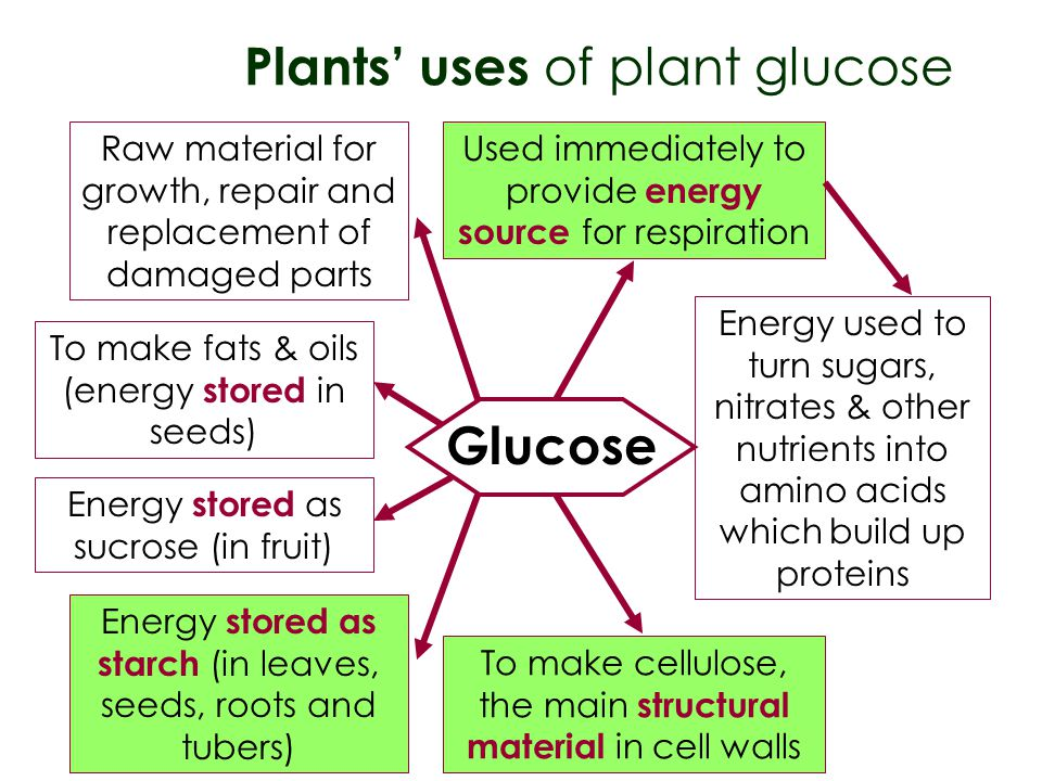 Plants' uses of plant glucose Glucose Used immediately to provide energy source for respiration Energy used to turn sugars, nitrates & other nutrients