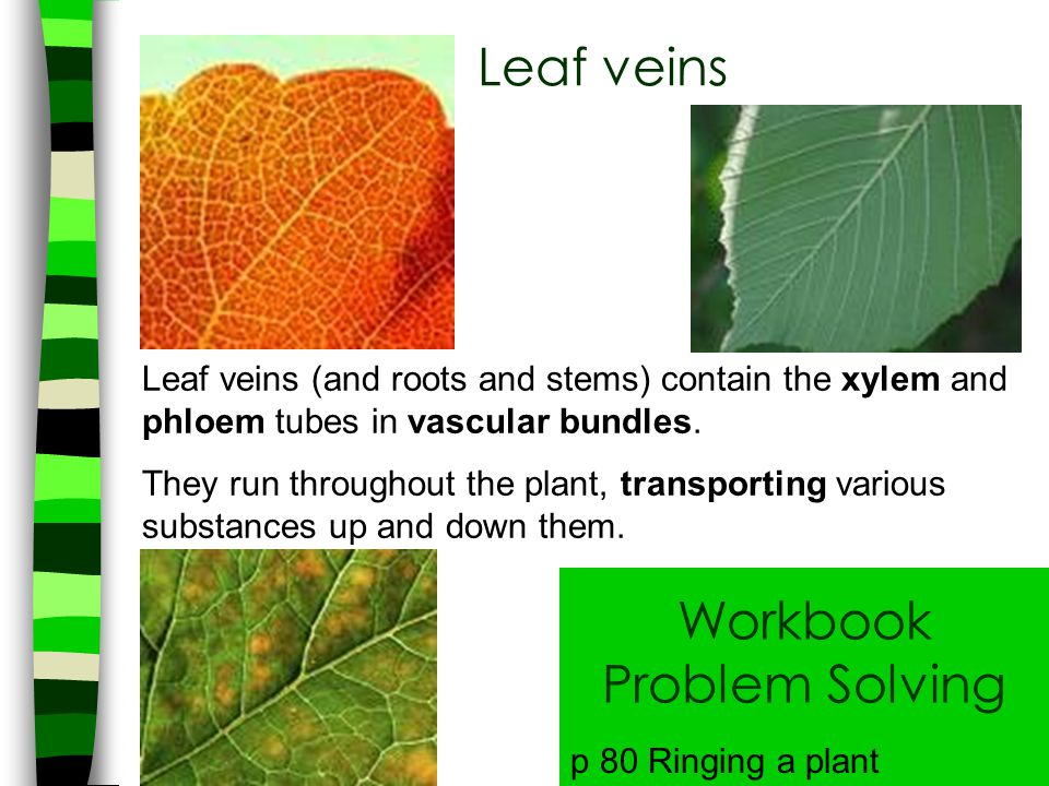 Leaf veins Leaf veins (and roots and stems) contain the xylem and phloem tubes in vascular bundles. They run throughout the plant, transporting variou