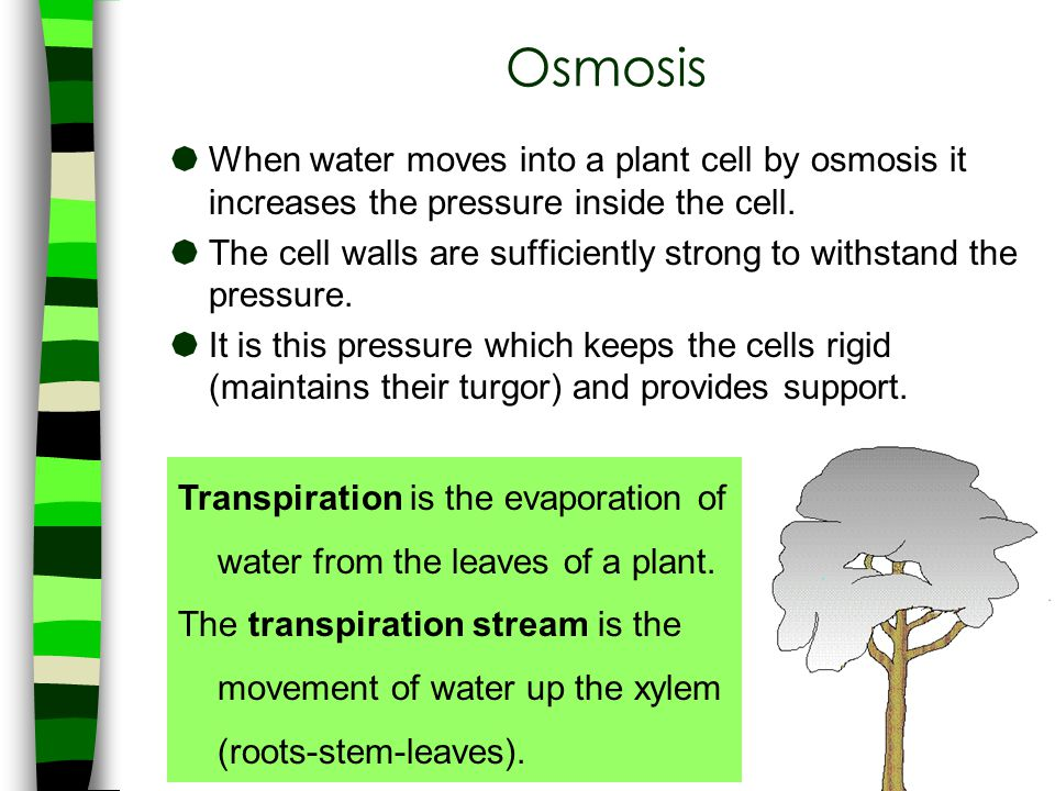  When water moves into a plant cell by osmosis it increases the pressure inside the cell.  The cell walls are sufficiently strong to withstand the p