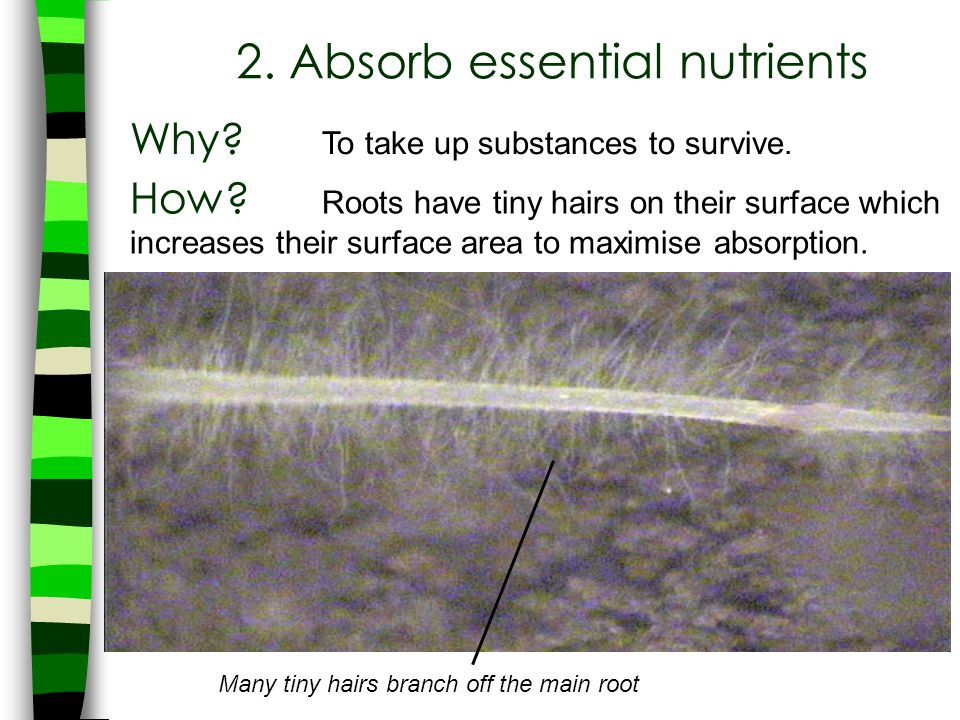 Many tiny hairs branch off the main root 2. Absorb essential nutrients Why? To take up substances to survive. How? Roots have tiny hairs on their surf