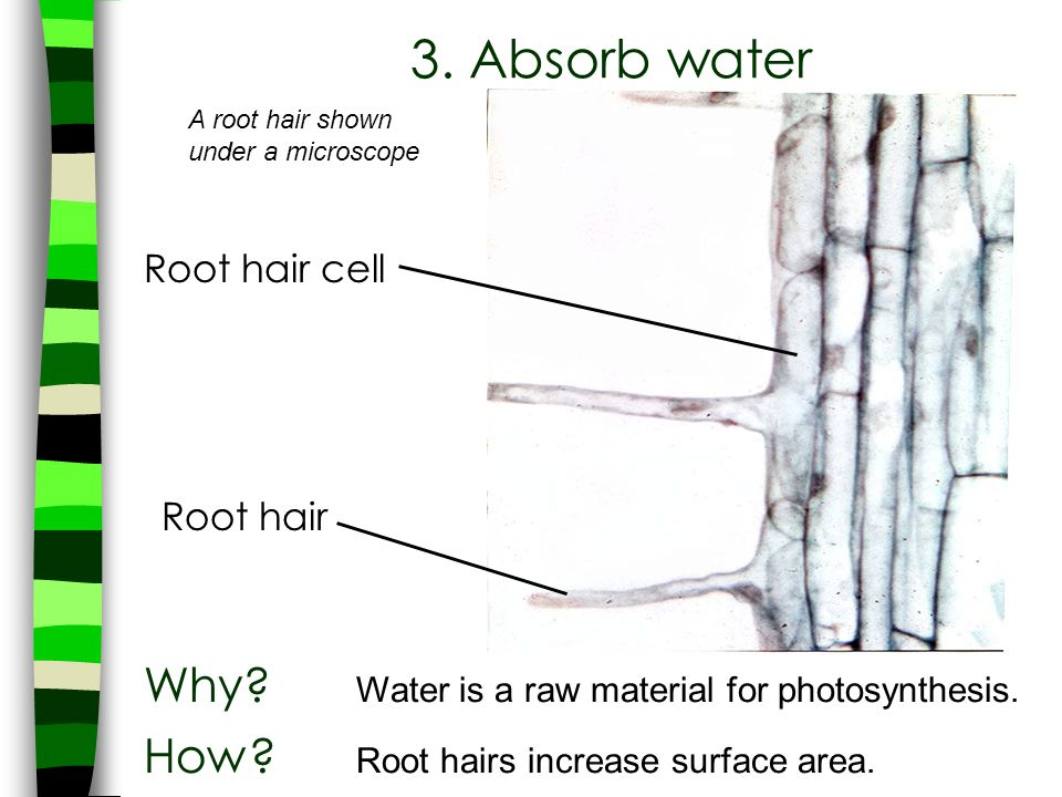 A root hair shown under a microscope Root hair cell Root hair 3. Absorb water Why? Water is a raw material for photosynthesis. How? Root hairs increas