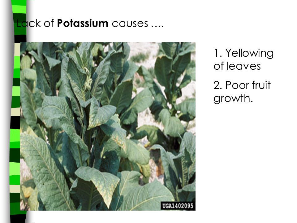 Lack of Potassium causes …. 1. Yellowing of leaves 2. Poor fruit growth.