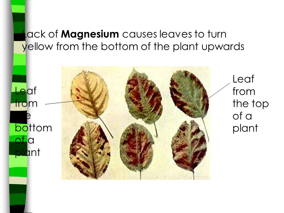 Lack of Magnesium causes leaves to turn yellow from the bottom of the plant upwards Leaf from the bottom of a plant Leaf from the top of a plant