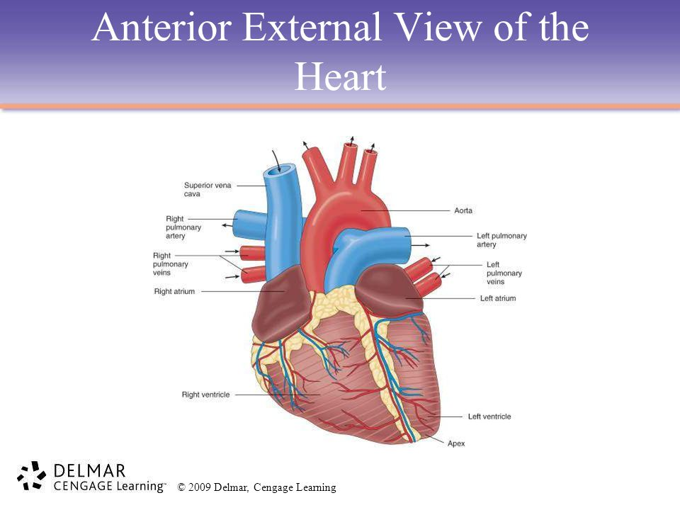 © 2009 Delmar, Cengage Learning Anterior External View of the Heart