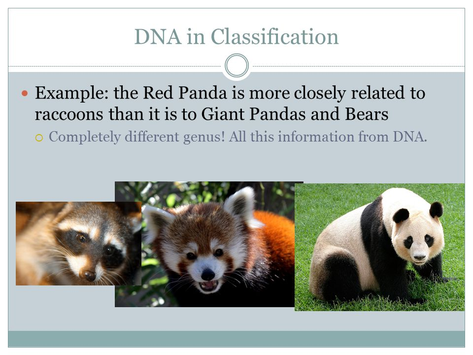 DNA in Classification Example: the Red Panda is more closely related to raccoons than it is to Giant Pandas and Bears  Completely different genus! Al