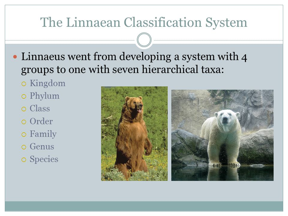 The Linnaean Classification System Linnaeus went from developing a system with 4 groups to one with seven hierarchical taxa:  Kingdom  Phylum  Clas