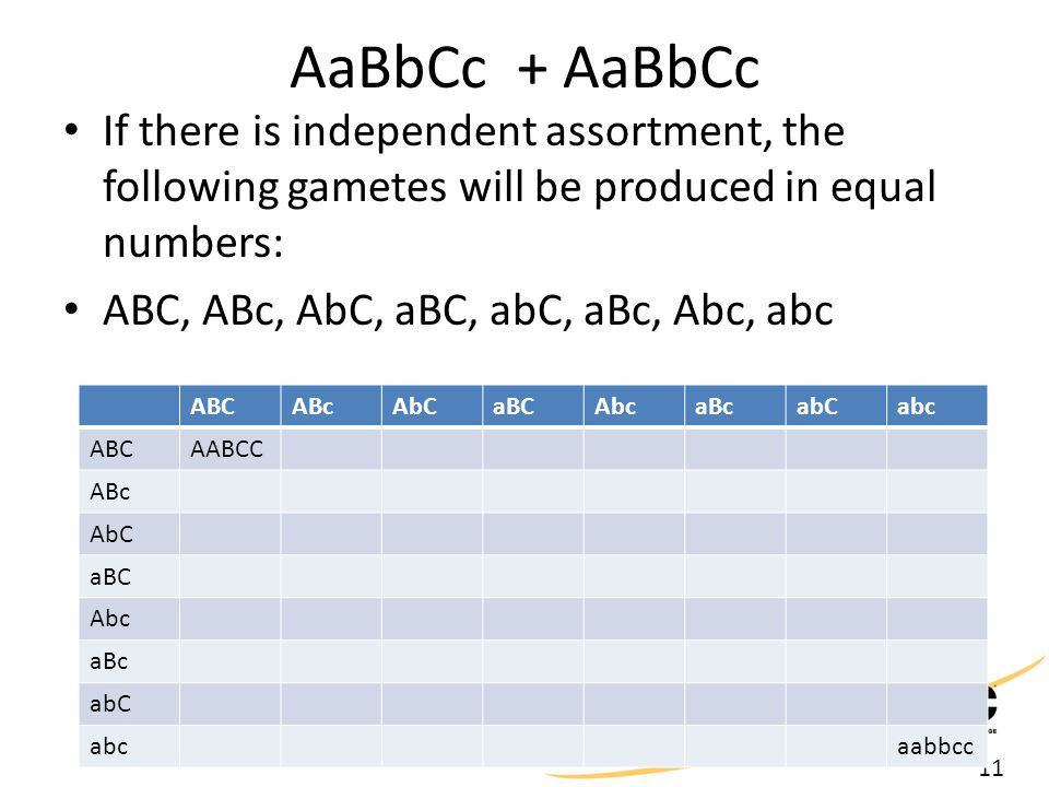 11 AaBbCc + AaBbCc If there is independent assortment, the following gametes will be produced in equal numbers: ABC, ABc, AbC, aBC, abC, aBc, Abc, abc