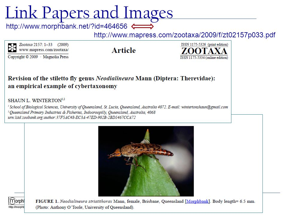 Link Papers and Images http://www.morphbank.net/?id=464656 http://www.mapress.com/zootaxa/2009/f/zt02157p033.pdf