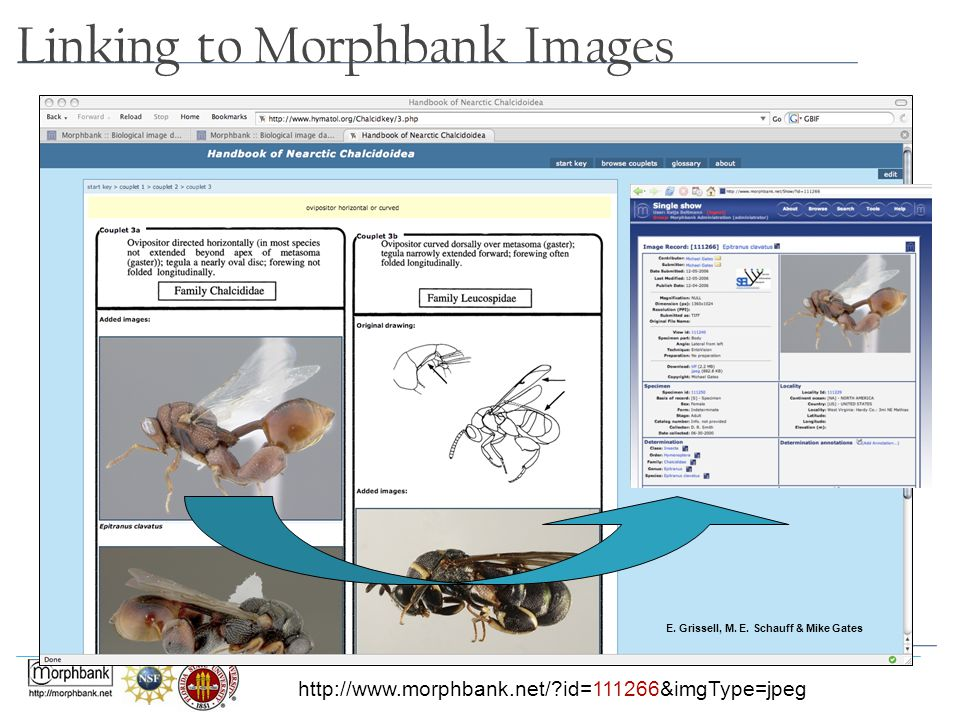 Linking to Morphbank Images E. Grissell, M. E. Schauff & Mike Gates http://www.morphbank.net/?id=111266&imgType=jpeg