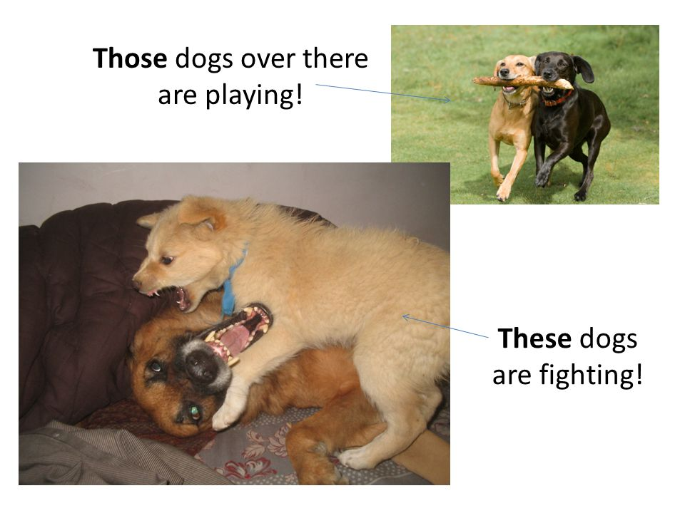 These dogs are fighting! Those dogs over there are playing!