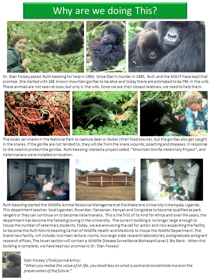 Dr. Dian Fossey asked Ruth Keesling for help in 1983. Since Dian's murder in 1985, Ruth and the MGCF have kept that promise. She started with 248 know