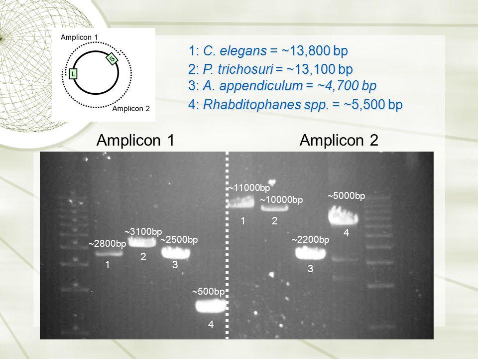 Amplicon 1Amplicon 2 ~2800bp ~3100bp ~2500bp ~11000bp ~10000bp ~5000bp ~2200bp ~500bp 1 2 3 4 12 3 4 1: C. elegans = ~13,800 bp 2: P. trichosuri = ~13