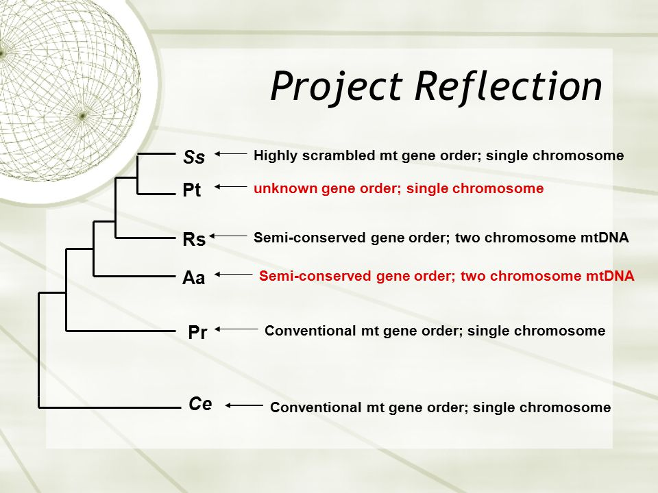 Project Reflection Ce Pr Rs Ss Pt Aa Conventional mt gene order; single chromosome Highly scrambled mt gene order; single chromosome Semi-conserved ge
