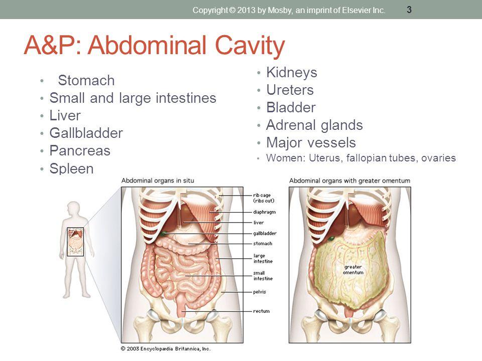 A&P: Abdominal Cavity Stomach Small and large intestines Liver Gallbladder Pancreas Spleen Kidneys Ureters Bladder Adrenal glands Major vessels Women: