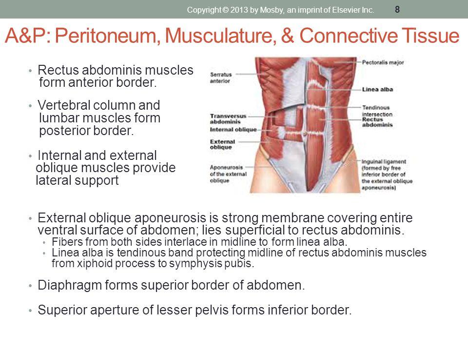 A&P: Peritoneum, Musculature, & Connective Tissue Rectus abdominis muscles form anterior border. Vertebral column and lumbar muscles form posterior bo