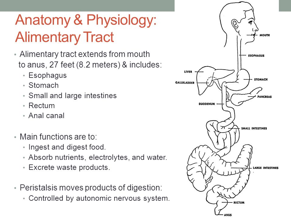 Anatomy & Physiology: Alimentary Tract Alimentary tract extends from mouth to anus, 27 feet (8.2 meters) & includes: Esophagus Stomach Small and large