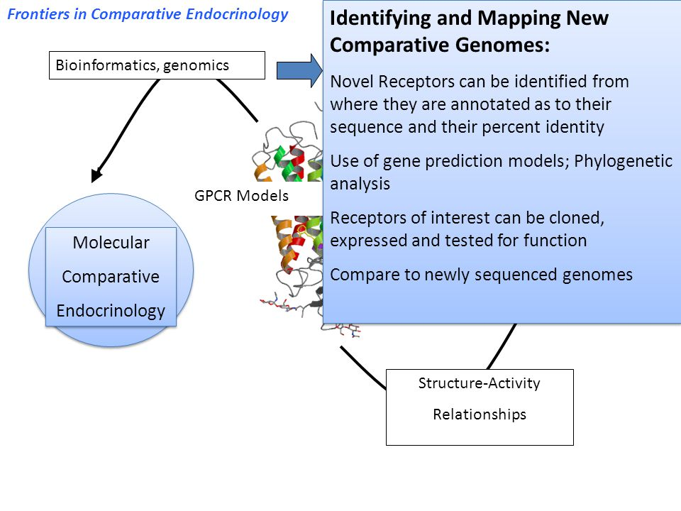 GPCR Models Bioinformatics, genomics Molecular Comparative Endocrinology Molecular Comparative Endocrinology Comparative Genomes Structure-Activity Relationships Identifying and Mapping New Comparative Genomes: Novel Receptors can be identified from where they are annotated as to their sequence and their percent identity Use of gene prediction models; Phylogenetic analysis Receptors of interest can be cloned, expressed and tested for function Compare to newly sequenced genomes Identifying and Mapping New Comparative Genomes: Novel Receptors can be identified from where they are annotated as to their sequence and their percent identity Use of gene prediction models; Phylogenetic analysis Receptors of interest can be cloned, expressed and tested for function Compare to newly sequenced genomes Frontiers in Comparative Endocrinology