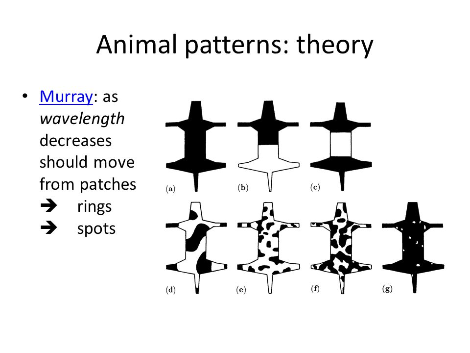 Animal patterns: theory Murray: as wavelength decreases should move from patches  rings  spots Murray