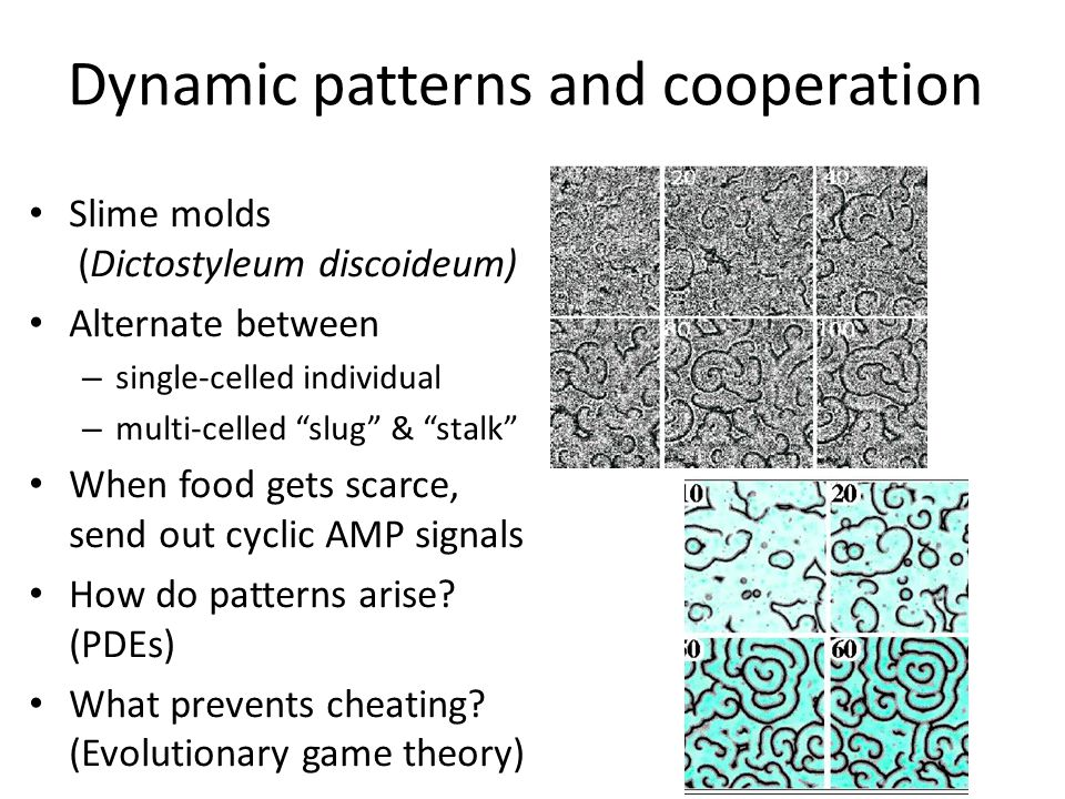 Dynamic patterns and cooperation Slime molds (Dictostyleum discoideum) Alternate between – single-celled individual – multi-celled slug & stalk When food gets scarce, send out cyclic AMP signals How do patterns arise.