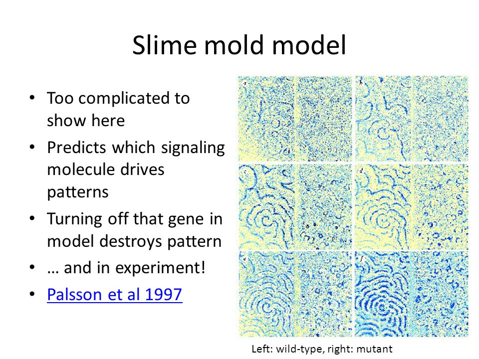 Slime mold model Too complicated to show here Predicts which signaling molecule drives patterns Turning off that gene in model destroys pattern … and in experiment.