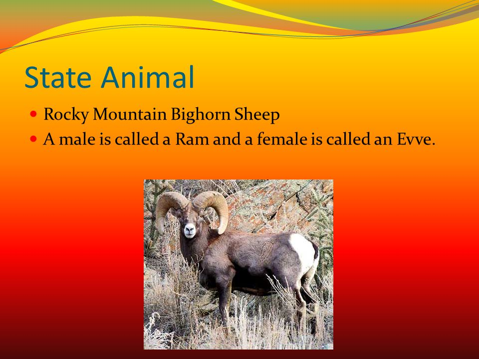 State Animal Rocky Mountain Bighorn Sheep A male is called a Ram and a female is called an Evve.