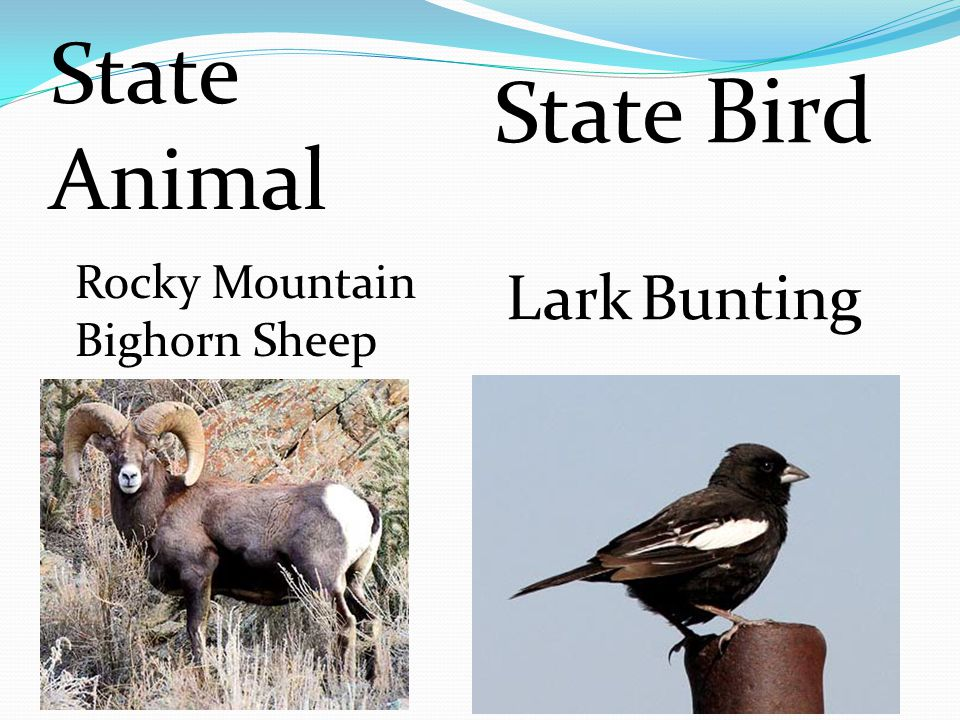 State Bird Lark Bunting Rocky Mountain Bighorn Sheep State Animal