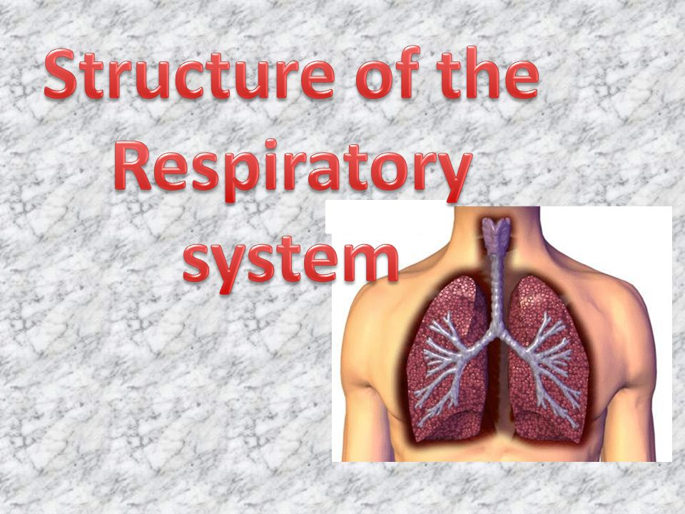 Respiratory System: Intakes oxygen Releases carbon dioxide waste Circulatory system: Transports gases in blood between lungs and cells Respiratory System: Intakes oxygen Releases carbon dioxide waste Circulatory system: Transports gases in blood between lungs and cells Respiratory system works with Cardiovascular system
