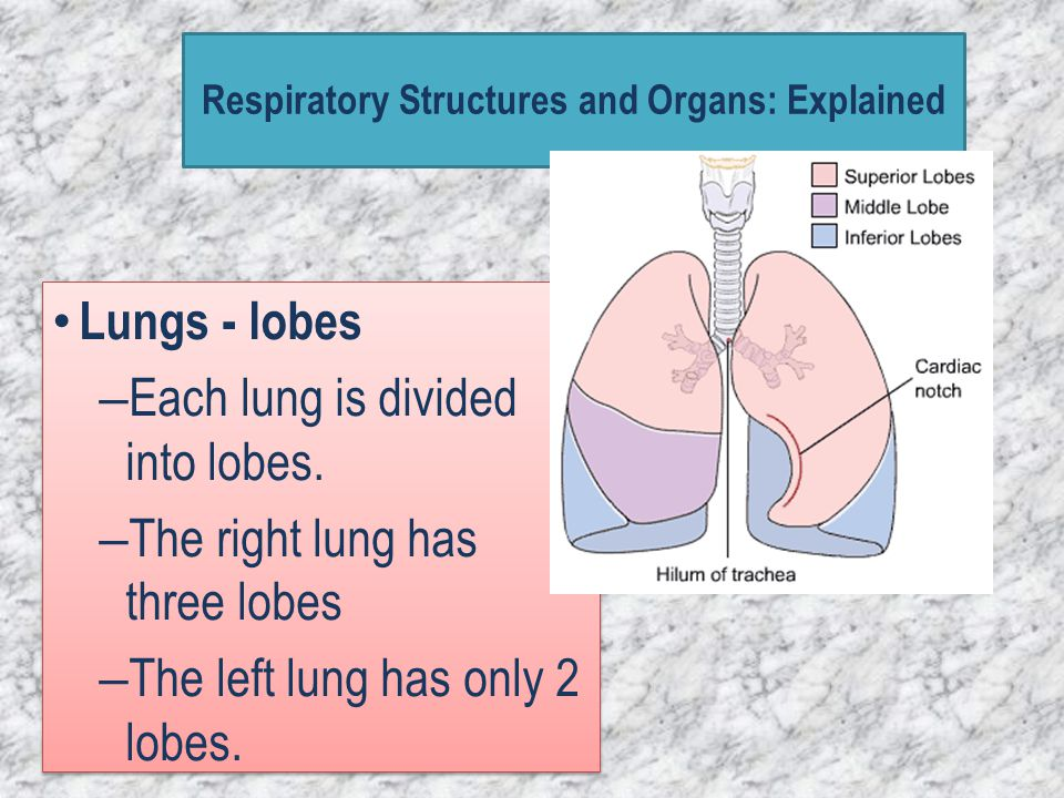 Lungs - lobes – Each lung is divided into lobes. – The right lung has three lobes – The left lung has only 2 lobes. Lungs - lobes – Each lung is divid