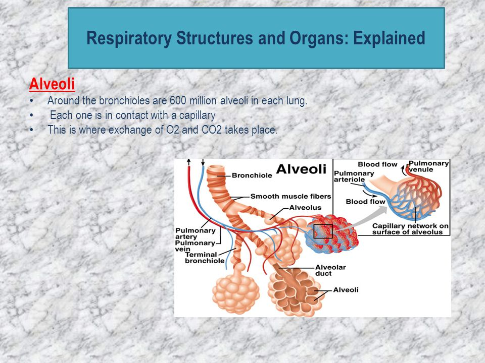 Respiratory Structures and Organs: Explained Alveoli Around the bronchioles are 600 million alveoli in each lung. Each one is in contact with a capill