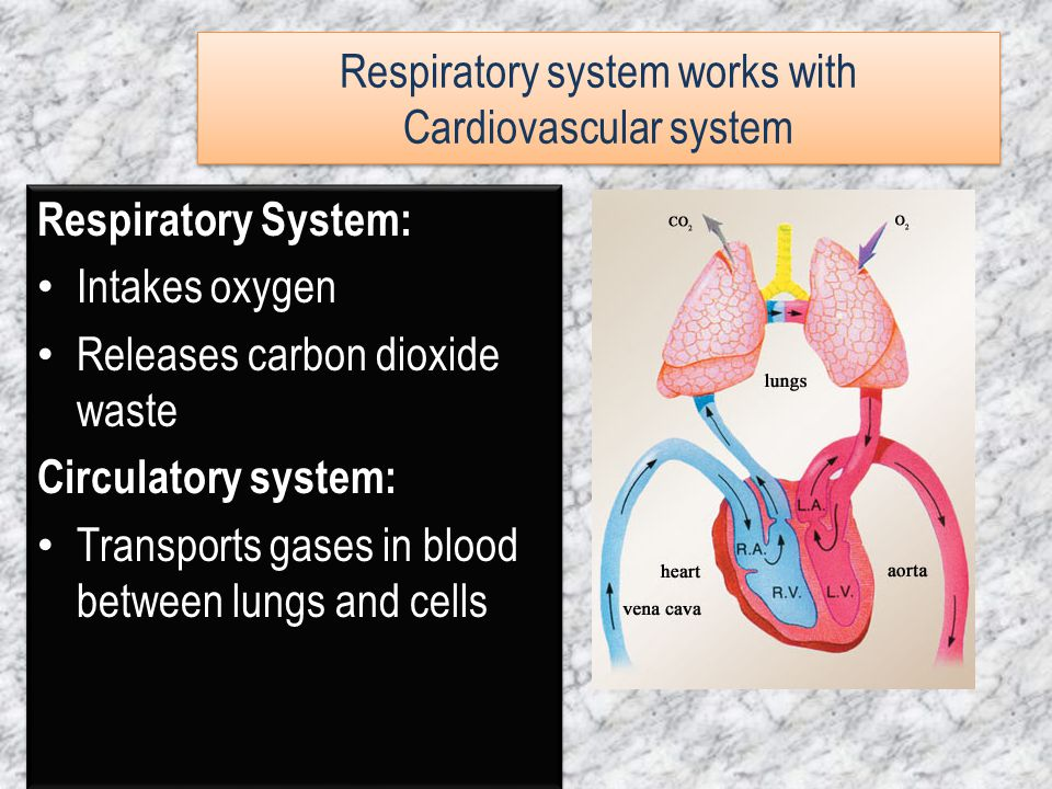 Respiratory System: Intakes oxygen Releases carbon dioxide waste Circulatory system: Transports gases in blood between lungs and cells Respiratory Sys